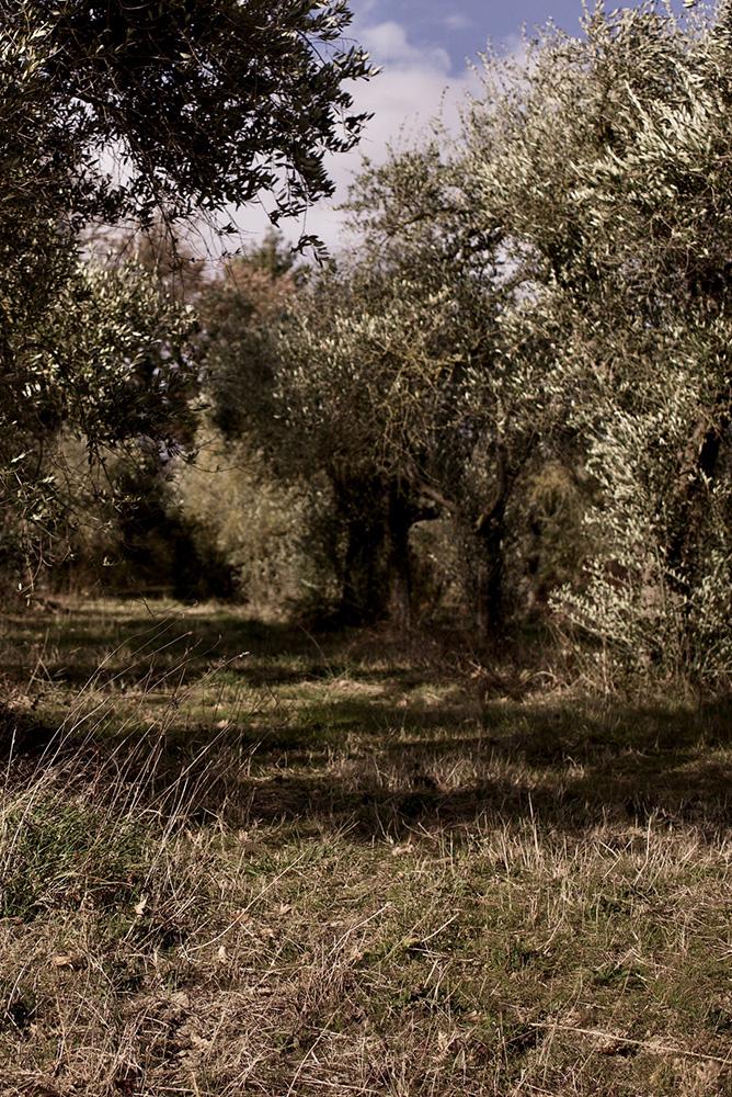 Esperienze al casale: gli ulivi